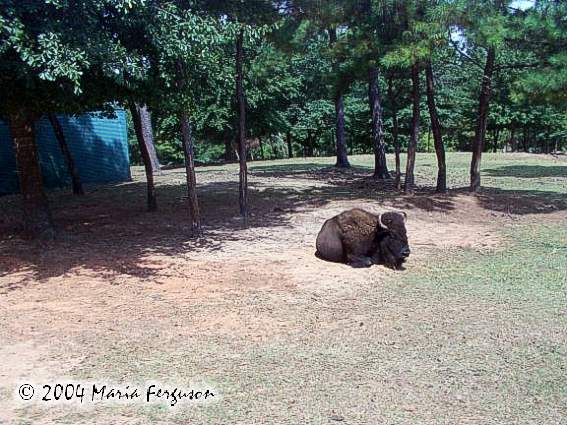 Captive Buffalo picture