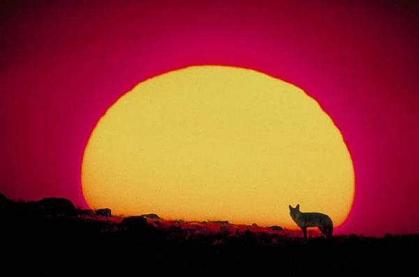 Sunset and Coyote Picture