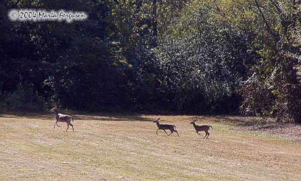 Deer Family Running Picture