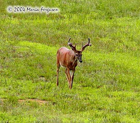 White-tailed Buck Picture