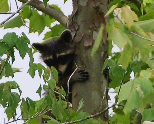 Raccoon Picture - Mississippi - 3