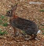 Wild Rabbit at Wolf Howl Animal Preserve Picture