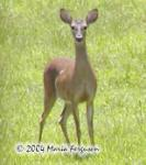 White-tailed Deer Photo Picture
