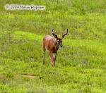 White-tailed Buck Picture Picture