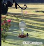 Hummingbird at Feeder Picture