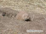 Prairie Dog Picture Picture