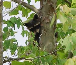 Raccoon Picture - Mississippi - 2 Picture