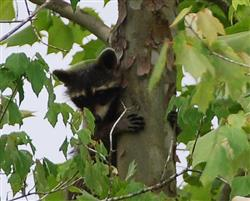 Raccoon Picture - Mississippi - 3 Picture