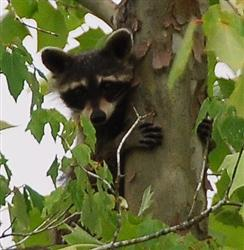 Raccoon Picture - Mississippi - 4 Picture