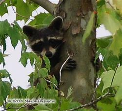 Raccoon Picture - Mississippi - 5 Picture