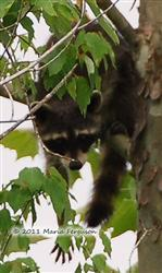 Raccoon Picture - Mississippi - 7 Picture