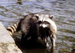 Raccoon in Water picture Picture