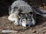 Timber Wolf, Canis Lupis Lycaon, picture Picture