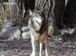 Timber Wolf Picture Picture