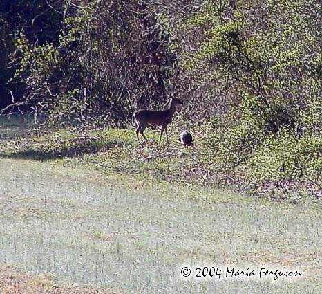 Deer and Wild Turkey